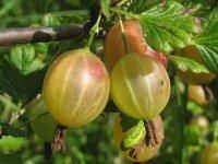 Owoce sezonowe -  Agrest