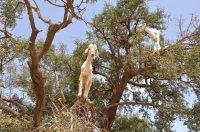 Złoto Maroka - czyli olej arganowy.